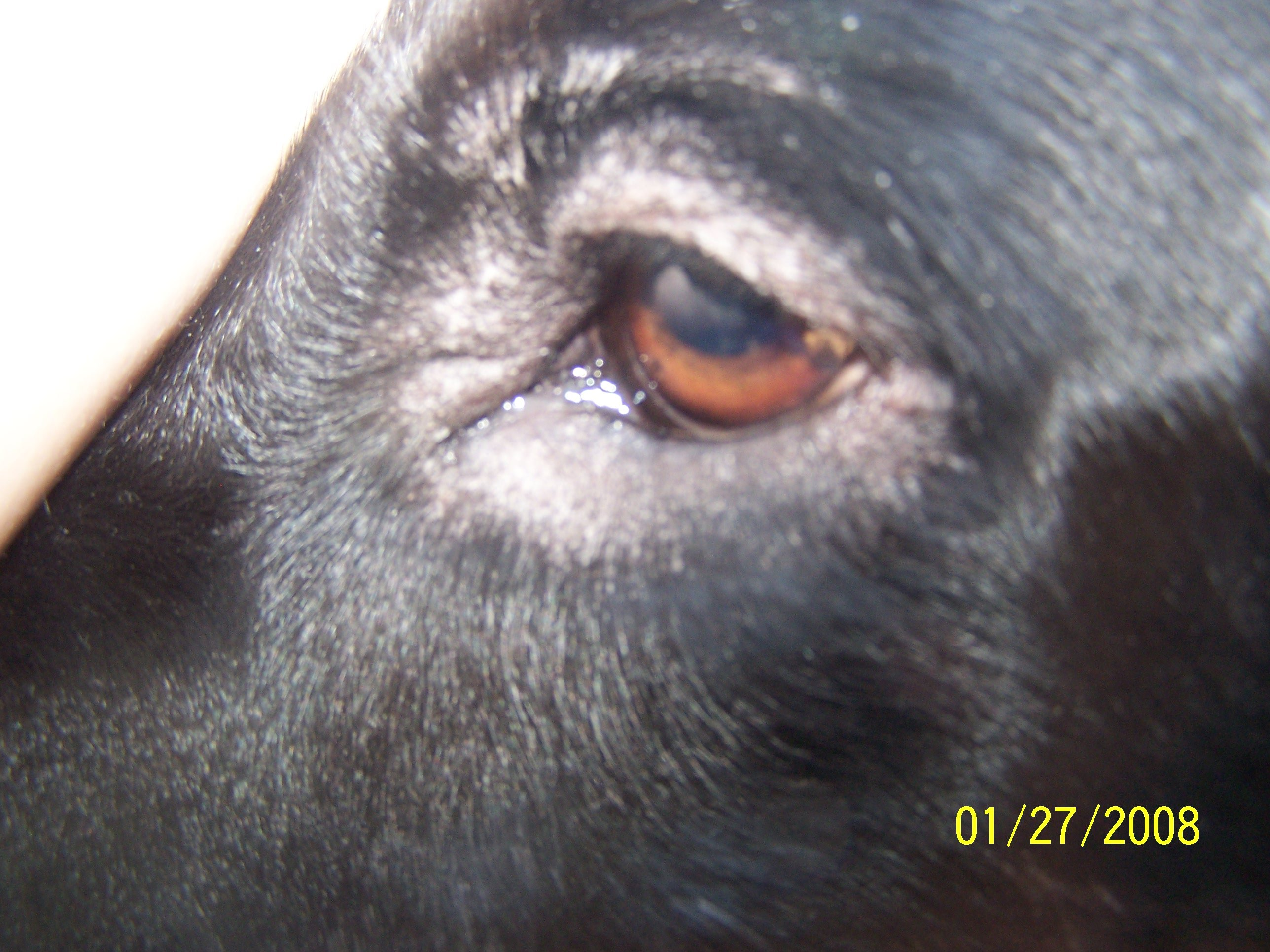 Why has dog started losing hair around his eye?: My dog has