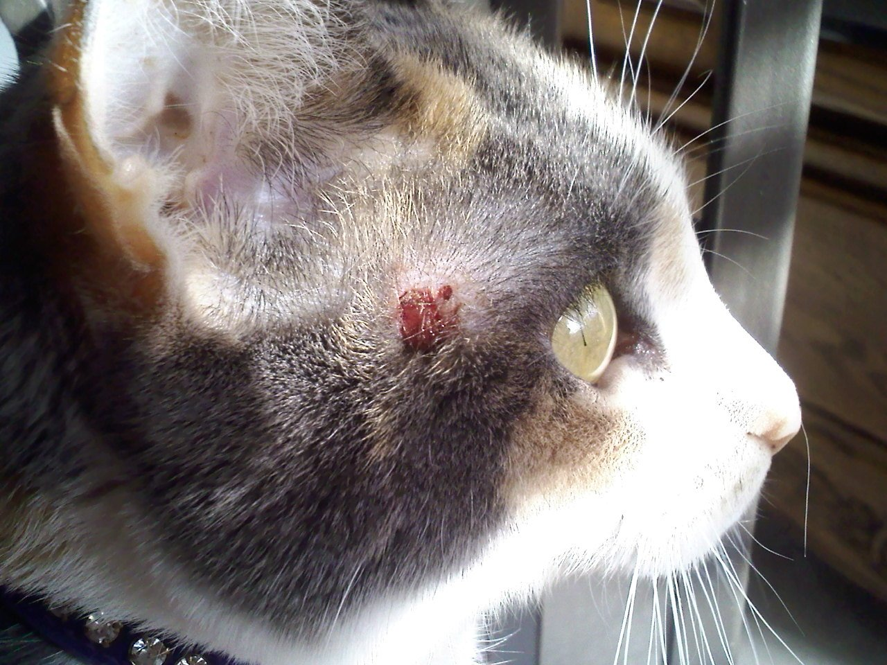 How Would An Indoor Cat Get Ringworm
